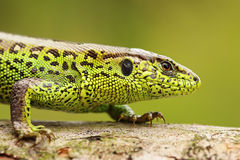 Close up of male sand lizard. Lacerta agilis Royalty Free Stock Image