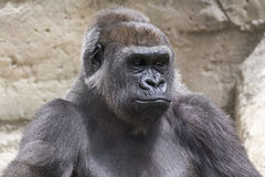 Close-up of a male silverback gorilla. Close-up of a young male gorilla back silver sitting Stock Photography