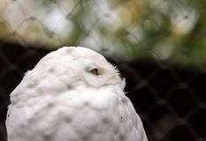 Close up Male Snowy owl (Bubo scandiacus) face. Close up Male Snowy owl (Bubo scandiacus) face in Hokkaido, Japan royalty free stock photos