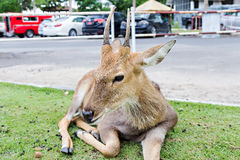 Close up of male spotted. Deer in car park Stock Image