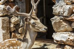 The male spotted deer near the open window of the stone house. Close-up of a male spotted deer near the window of a stone house Stock Image