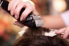 Close up of a male student having a haircut with hair clippers.  royalty free stock photo