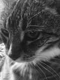 Close Up Male Tabby Cat. Male Senior Diabetic Tabby Cat looks stunning in black and white Royalty Free Stock Photography
