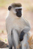Close-up of male vervet monkey in sunshine. A male vervet monkey seen in close-up while sitting on a rock in the sunshine in a dusty patch of ground with a few Royalty Free Stock Photo