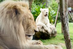 Close up of Male white lion lying and sleeping. Together with female white lion behind Royalty Free Stock Photo