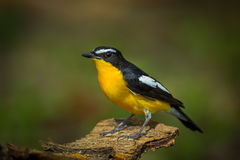 Close up Male Yellow-rumped flycatcher Stock Photos