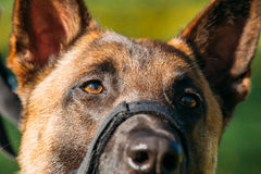 Close Up Of Malinois Dog With Muzzle. Belgian Shepherd Dog Portrait royalty free stock images