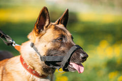 Close Up Of Malinois Dog With Muzzle. Belgian Shepherd Dog Portrait. Close Up Portrait Of Malinois Dog With Muzzle. Belgian Shepherd Dog On Green Grass Blurred Stock Image