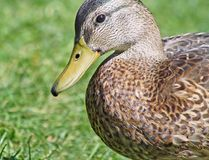 Close up of the Mallard Duck Royalty Free Stock Images