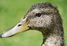 Close up of the Mallard Duck Royalty Free Stock Photo