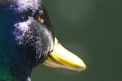 Close-up of mallard duck eye and beak Royalty Free Stock Photography