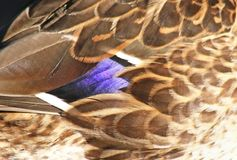 Close up of Mallard duck feathers Royalty Free Stock Photos