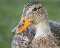 Close up of the Mallard Duck. Close up of a Mallard duck female Stock Photos