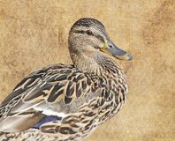 Close up of a Mallard duck female  against a neutral color background Stock Photos