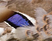 Mallard duck wing. A close-up of a Mallard duck`s wing, showing off its beautiful blue feathers Stock Photo