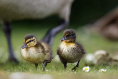 Close-up of Mallard ducklings Anas platyrhynchos with varying. Patterns Stock Image