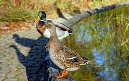 Close-up of Mallard Ducks on Water Stock Photography
