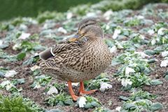 Close up of a Mallard female duck. In winter Royalty Free Stock Photos