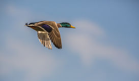 Close-up of a Mallard in flight. A close-up of the extremely fast flight of a male Mallard (Anas platyrhynchos), a common duck but difficult to appreciate in Royalty Free Stock Images