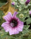Close up of a Mallow flower Stock Photo