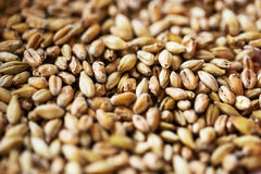 Close up of malt or cereal grains. Agriculture, farming, prosperity, harvest and rural economy concept - close up of malt or cereal grains Royalty Free Stock Photo