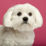 Close-up of Maltese, 2 years old. In front of pink background Stock Photos