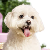 Close up of a Maltese. In front of Christmas decorations against white background Stock Photography