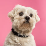 Close-up of a Maltese, 5 years old. Isolated on a pink background Stock Images