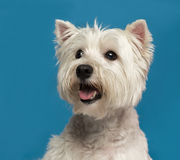 Close-up of a Maltese in front of a blue background Royalty Free Stock Images