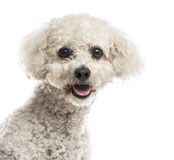 Close-up of a Maltese. In front of a white background Stock Photography