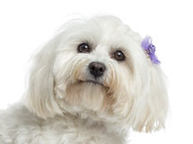 Close up of a Maltese, isolated Stock Photo
