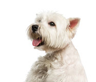 Close-up of a Maltese. Isolated on white Royalty Free Stock Image