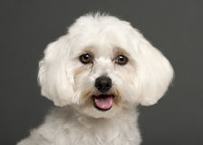 Close-up of Maltese panting, 3 years old. In front of grey background Stock Photography