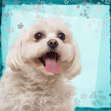Close-up of a Maltese panting. On a blue designed background Stock Photos