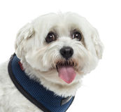 Close up of a Maltese panting, isolated Royalty Free Stock Image