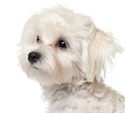 Close-up of Maltese puppy, 6 months old. In front of white background Royalty Free Stock Photography