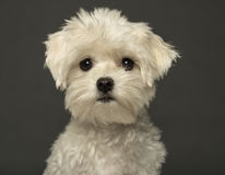 Close-up of a Maltese puppy, isolated on grey background. Close-up of a Maltese puppy, isolated on a grey background Royalty Free Stock Images