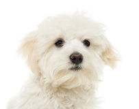 Close up of a Maltese puppy, 7 months old, isolated. On white Royalty Free Stock Photos