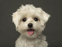 Close-up of a Maltese puppy panting, looking at th Stock Image