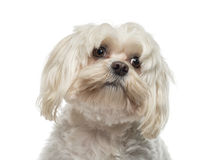 Close-up of a Maltese (6 years old). Isolated on white Stock Image