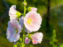 Close up malva flowers. Close up of beautiful malva flowers Royalty Free Stock Photography