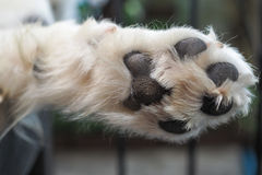 Close-up of mammal`s paws and white hair Royalty Free Stock Images
