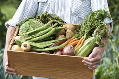 Close Up Of Man On Allotment With Box Of Home Grown Vegetables. Man On Allotment With Box Of Home Grown Vegetables stock photos
