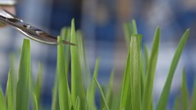 Close-up of a man carefully mows the lawn grass with manicure scissors. Close-up of a man carefully cuts the stems of grass with nail scissors stock video footage