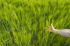 Close-up of man hand touching crops. In a green wheat field on a sunny day Royalty Free Stock Images