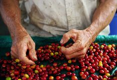 Close up man hands sorting the harvested fruits of the cofee tree before drying. Coffee plantations in Quindio - Buenavista. The cherry is the name usually given royalty free stock photos