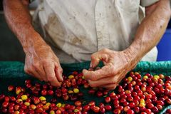 Close up man hands sorting the harvested fruits of the cofee tree before drying. Coffee plantations in Quindio - Buenavista. The cherry is the name usually given stock photo