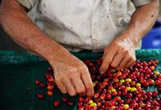 Close up man hands sorting the harvested fruits of the cofee tree before drying. Coffee plantations in Quindio - Buenavista. The cherry is the name usually given royalty free stock photo