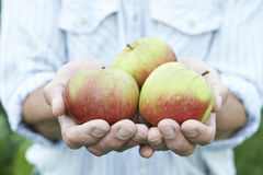 Close Up Of Man Holding Freshly Picked Apples Royalty Free Stock Photo