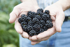 Close Up Of Man Holding Freshly Picked Blackberries Royalty Free Stock Photos